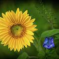 Sunflower And Morning Glory by Carolyn Derstine