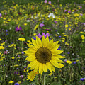 Sunflower And Wildflowers by Steve Purnell