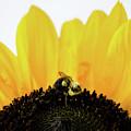 Sunflower by Andrea Anderegg