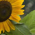 Sunflower by Andrei Shliakhau