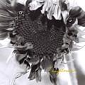 Sunflower by AnnaJanessa PhotoArt