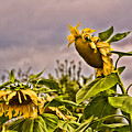 Sunflower Art 2 by Edward Sobuta