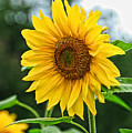 Sunflower Art 3 by Edward Sobuta