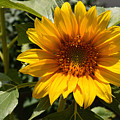 Sunflower Art- Summer Sun- Sunflowers by Kathy  Symonds