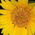 Sunflower At Dusk by Sheila Brown