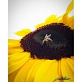 Sunflower Bee Photo By @pauldalsasso by Paul Dal Sasso