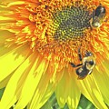 Sunflower Bees by Kate D