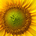 Sunflower   by Benanne Stiens