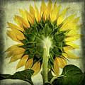 Sunflower by Bernard Jaubert
