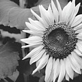 Sunflower Black And White 2  by Andrea Anderegg