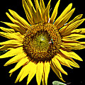 Sunflower by Bob Johnson