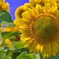 Sunflower by Bob Mintie