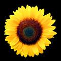 Sunflower by Bob Slitzan