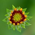 Sunflower Bud  by Reva Steenbergen