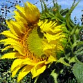 Sunflower By Design by Concolleen's Visions Smith
