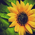 Sunflower by Carol A Commins