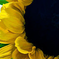 Sunflower by Charles Muhle