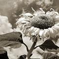 Sunflower by Clay McGurk