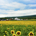Sunflower Country Landscape  by Regina Geoghan