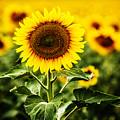 Sunflower Crops On A Farm In South Dakota by Carol Mellema