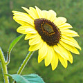 Sunflower by Cynthia McCullough