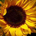 Sunflower by David Patterson