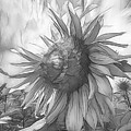 Sunflower Dawn Black And White Drawing by Debra and Dave Vanderlaan
