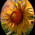 Sunflower Dawn In Oval by Debra and Dave Vanderlaan