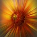 Sunflower Dawn Zoom by Debra and Dave Vanderlaan