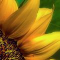Sunflower Detail by Gary Shepard