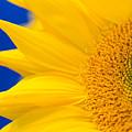 Sunflower Detail by Margaret Pitcher