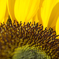 Sunflower Detail by Ray Laskowitz - Printscapes