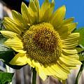 Sunflower by DJ Florek