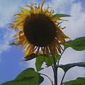Sunflower by Donna Martin