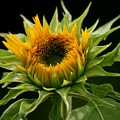 Sunflower - Doubleshine by Betsy LaMere