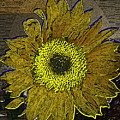 Sunflower Dreaming by Tim Allen