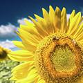 Sunflower Dreams by Jim DeLillo