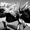 Sunflower Duo Bw by Alexis King-Glandon