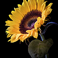 Sunflower by Endre Balogh