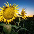 Sunflower Evening by Robert Frederick