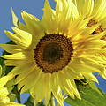 Sunflower Face by Barbara Treaster