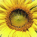 Sunflower Face by Pam  Holdsworth