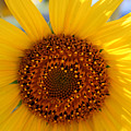 Sunflower Face by S Cyr