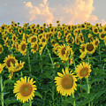Sunflower Faces At Sunset by Terri Morris