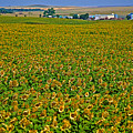 Sunflower Farm In Northwest North Dakota  by Ruth Hager