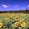 Sunflower Farm by Jim DeLillo