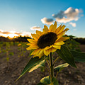 Sunflower Field by Alissa Beth Photography