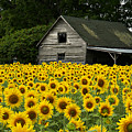 Sunflower Field And Barn by Tom  Wray