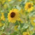 Sunflower Field by Betty LaRue