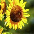 Sunflower Field by Christina Rollo